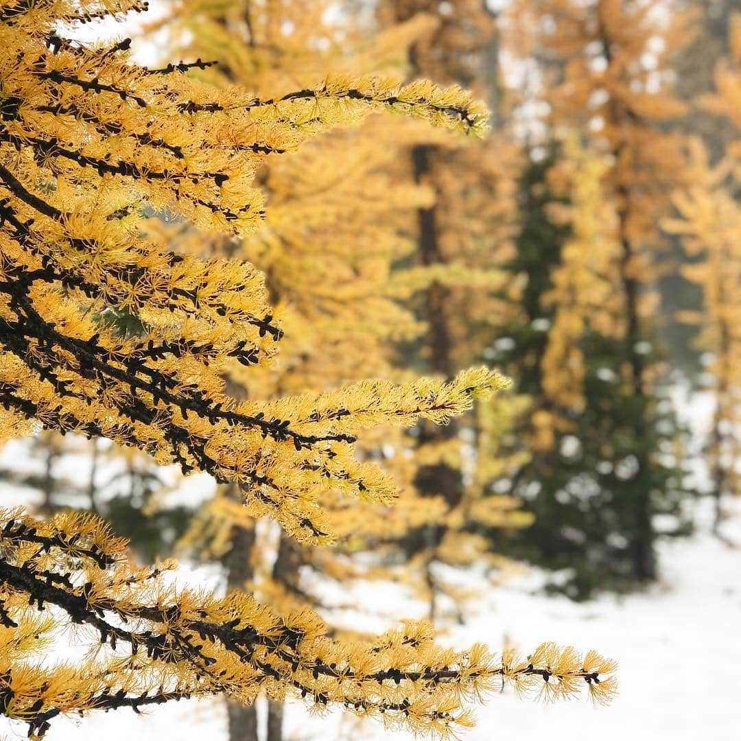 Mt. Frosty golden larches