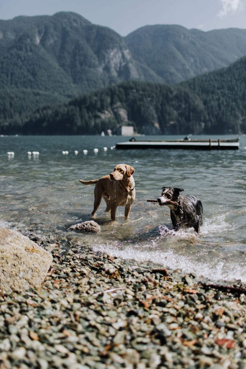 Dogs playing in the ocean